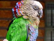 Попугай ястребиный, или веерный попугай купить сейчас Україна, -Чернiгiв id184420092