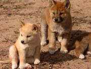 Собака Динго купить онлайн Україна, -Чернiгiв id1330192930