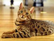 Бенгальская кошка, или бенгальский кот, или бенгал купить онлайн Україна, -Чернiгiв id289600359