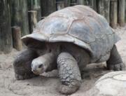 Гигантская черепаха купить сейчас Україна, -Чернiгiв id1769962990