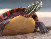 Расписная черепаха купить сейчас Україна, -Чернiгiв id1252918279