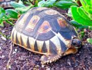 Южноафриканская клювогрудая, или черепаха-бушприт купить сейчас Україна, -Чернiгiв id207698681