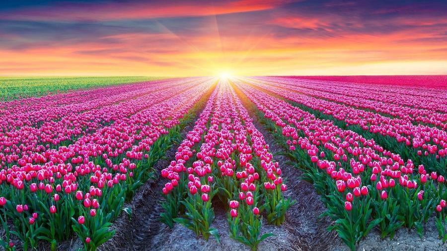 Обои - Безграничные Цветочные поля Природа, Цветы, Цветочное поле, Закат, Восход 468240191