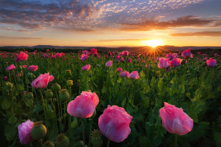 Обои - Безграничные Цветочные поля Природа, Цветы, Цветочное поле, Закат, Восход 508628648