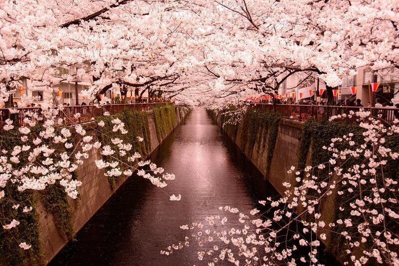 Найновіші Фотошпалери Цвітіння Сакури в Японії Природа, Фотошпалери Цвітіння Сакури, Фотошпалери японської Сакури, Фотошпалери квіти, Фотошпалери Японія id1269202452