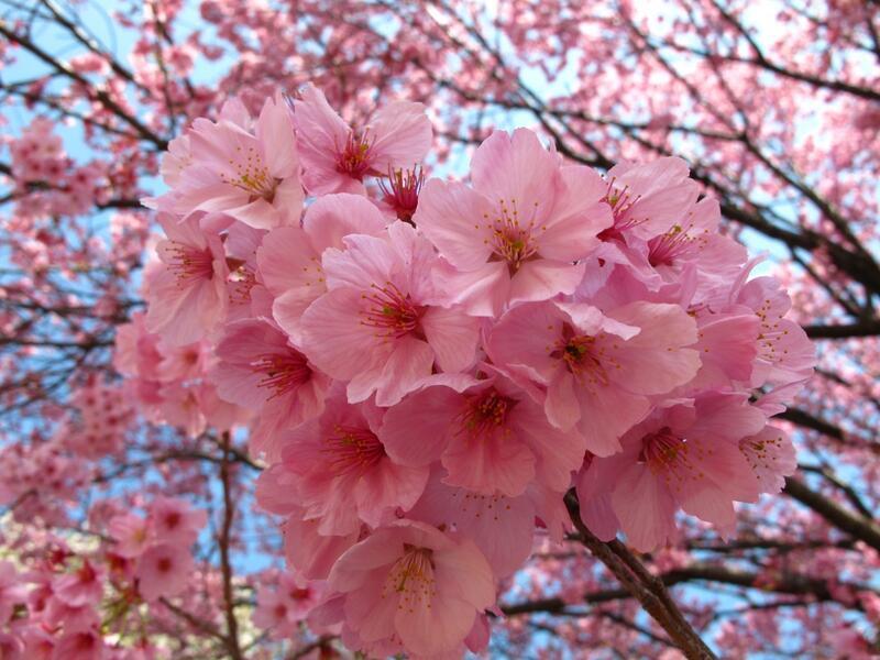 Найновіші Фотошпалери Цвітіння Сакури в Японії Природа, Фотошпалери Цвітіння Сакури, Фотошпалери японської Сакури, Фотошпалери квіти, Фотошпалери Японія id44019668