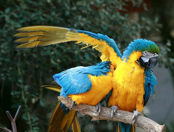 Купить Попугая Сине-жёлтый ара Україна, -Чернiгiв id448332606