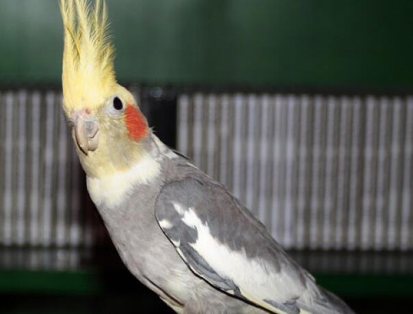 Попугай Корелла, или нимфа купить сейчас Україна, -Чернiгiв id571575185