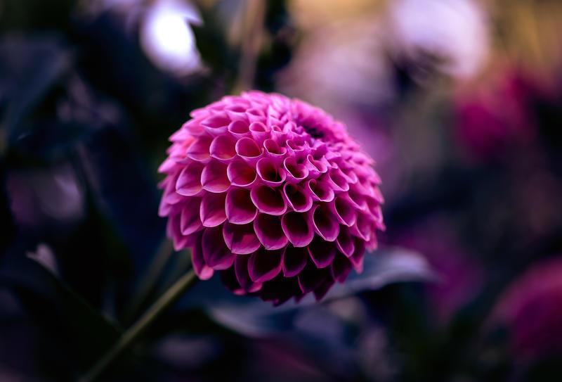 Фотообои Самых красивых цветов Природа, Цветы, Розы, Георгин 894053301