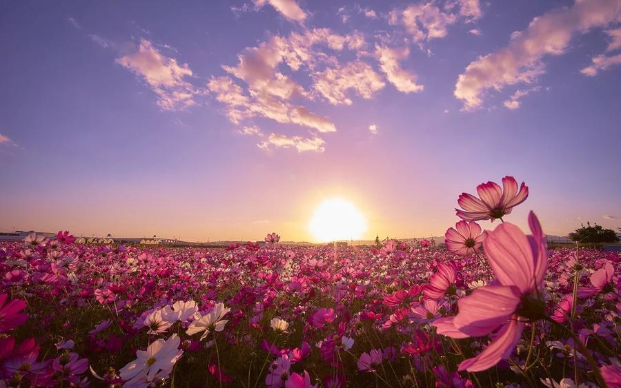 Шпалери - Безмежні Квіткові поля Природа, Квіти, Квіткове поле, Захід сонця, Схід Сонця id390502835