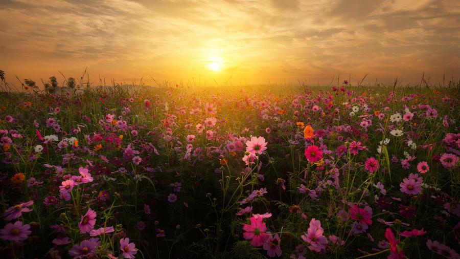 Шпалери - Безмежні Квіткові поля Природа, Квіти, Квіткове поле, Захід сонця, Схід Сонця id1000231071