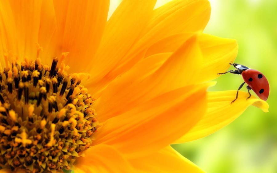 Шпалери наймальовничіших квітів Природа, Квіти, Троянди, Тюльпани, Комашки id1216232115