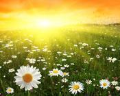 Обои - Безграничные Цветочные поля Природа, Цветы, Цветочное поле, Закат, Восход 1778677223