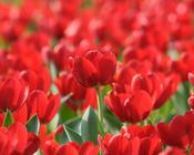 Обои самых живописных цветов Природа, Цветы, Розы, Тюльпаны, Насекомые 2119201971