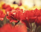 Фотообои Самых красивых цветов Природа, Цветы, Розы, Георгин 681013310