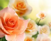 Фотошпалери Самих красивих квітів Природа, Квіти, Троянди, Лілія, Вишня 607501361