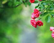 Фотошпалери Самих красивих квітів Природа, Квіти, Троянди, Лілія, Вишня 1846106778