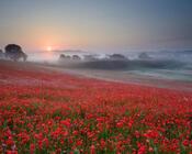 Шпалери - Безмежні Квіткові поля Природа, Квіти, Квіткове поле, Захід сонця, Схід Сонця id1992105409