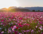 Шпалери - Безмежні Квіткові поля Природа, Квіти, Квіткове поле, Захід сонця, Схід Сонця id1799513099