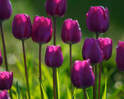 Шпалери наймальовничіших квітів Природа, Квіти, Троянди, Тюльпани, Комашки id593902722