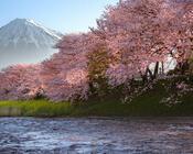 Найновіші Фотошпалери Цвітіння Сакури в Японії Природа, Фотошпалери Цвітіння Сакури, Фотошпалери японської Сакури, Фотошпалери квіти, Фотошпалери Японія id702802592