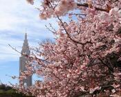Найновіші Фотошпалери Цвітіння Сакури в Японії Природа, Фотошпалери Цвітіння Сакури, Фотошпалери японської Сакури, Фотошпалери квіти, Фотошпалери Японія id1529766426