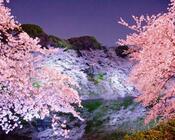 Найновіші Фотошпалери Цвітіння Сакури в Японії Природа, Фотошпалери Цвітіння Сакури, Фотошпалери японської Сакури, Фотошпалери квіти, Фотошпалери Японія id948028431
