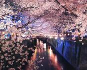 Найновіші Фотошпалери Цвітіння Сакури в Японії Природа, Фотошпалери Цвітіння Сакури, Фотошпалери японської Сакури, Фотошпалери квіти, Фотошпалери Японія id1135419196