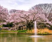 Найновіші Фотошпалери Цвітіння Сакури в Японії Природа, Фотошпалери Цвітіння Сакури, Фотошпалери японської Сакури, Фотошпалери квіти, Фотошпалери Японія id997458590