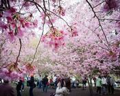 Новейшие Фотообои Цветения Сакуры в Японии Природа, Фотообои Цветение Сакуры, Фотообои японской Сакуры, Фотообои цветы, Фотообои Япония id1428889967