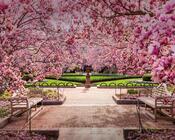 Новейшие Фотообои Цветения Сакуры в Японии Природа, Фотообои Цветение Сакуры, Фотообои японской Сакуры, Фотообои цветы, Фотообои Япония id2123764854