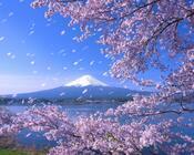Новейшие Фотообои Цветения Сакуры в Японии Природа, Фотообои Цветение Сакуры, Фотообои японской Сакуры, Фотообои цветы, Фотообои Япония id509781734