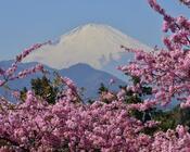 Новейшие Фотообои Цветения Сакуры в Японии Природа, Фотообои Цветение Сакуры, Фотообои японской Сакуры, Фотообои цветы, Фотообои Япония id1341152289