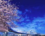 Новейшие Фотообои Цветения Сакуры в Японии Природа, Фотообои Цветение Сакуры, Фотообои японской Сакуры, Фотообои цветы, Фотообои Япония id2013289807