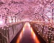 Новейшие Фотообои Цветения Сакуры в Японии Природа, Фотообои Цветение Сакуры, Фотообои японской Сакуры, Фотообои цветы, Фотообои Япония id1427996358