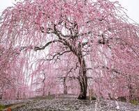 Найновіші Фотошпалери Цвітіння Сакури в Японії Природа, Фотошпалери Цвітіння Сакури, Фотошпалери японської Сакури, Фотошпалери квіти, Фотошпалери Японія id662011853