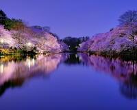Новейшие Фотообои Цветения Сакуры в Японии Природа, Фотообои Цветение Сакуры, Фотообои японской Сакуры, Фотообои цветы, Фотообои Япония id1053670938